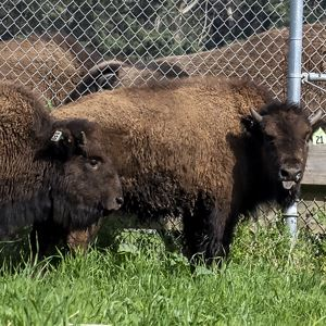 Golden Gate Park Bison New 2020